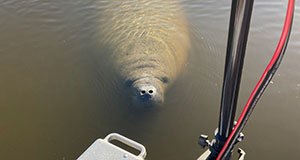 Keep an eye out for manatees this 4th of July weekend