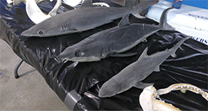 ACCESS: Sharks and Rays of the Gulf of Mexico